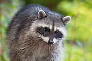 Raccoon, Lummi Island, Washington State