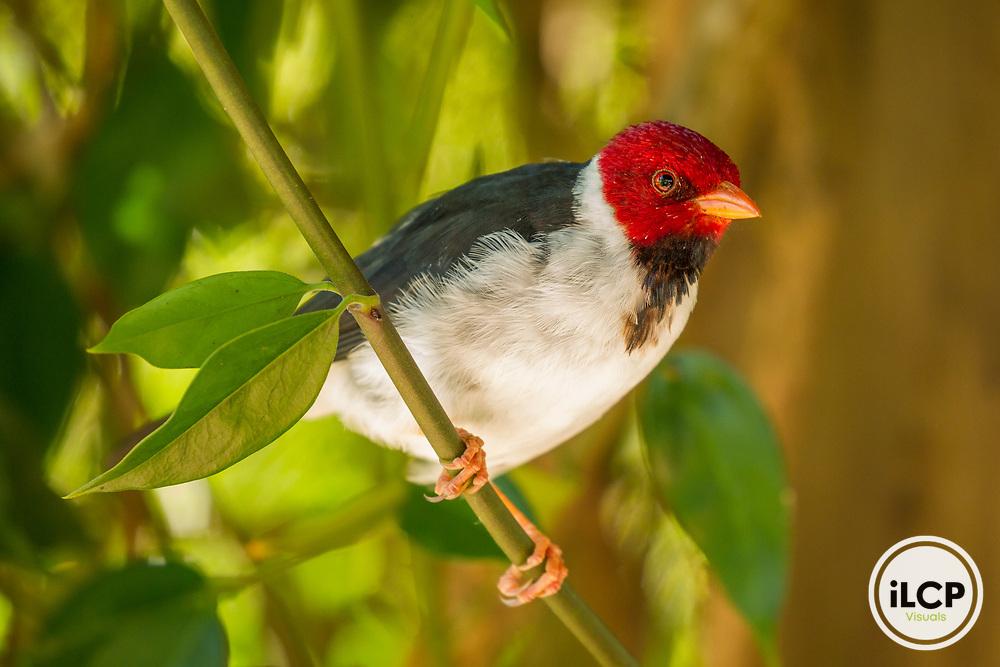 Yellow-billed Cardinal (Paroaria capitata), Ibera Provincial Reserve, Ibera Wetlands, Argentina