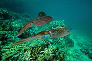 Caribbean reef squid, Sepioteuthis sepioidea, Venezuela. Atlantic Ocean