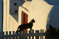 Grece, Cyclades, Mykonos, chat des rues. // Greece, Cyclades, Mykonos, street cat