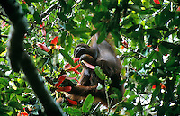 Young male Bornean Orangutan (Pongo pygmaeus) feeding on the seeds of Dipterocarpus sublamellatus tree, one of the masting dipterocarp trees. Gunung Palung National Park, West Kalimantan, Indonesia.
