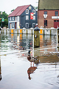 """Annapolis, Maryland - June 05, 2016: Ducks search for a morning snack among the water and detritus flooding in to the Kunta Kinte-Alex Haley Memorial park located at the City Dock in historic Annapolis early Sunday morning June 5th, 2016. A perigean spring tide brings some of the highest tides of the year, which can create nuisance flooding in coastal towns like Annapolis.<br /> <br /> <br /> A perigean spring tide brings nuisance flooding to Annapolis, Md. These phenomena -- colloquially know as a """"King Tides"""" -- happen three to four times a year and create the highest tides for coastal areas, except when storms aren't a factor. Annapolis is extremely susceptible to nuisance flooding anyway, but the amount of nuisance flooding has skyrocketed in the last ten years. Scientists point to climate change for this uptick. <br /> <br /> <br /> CREDIT: Matt Roth for The New York Times<br /> Assignment ID: 30191272A"""