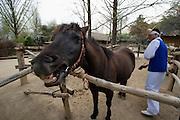 Korean Folk Village. Preparing a horse for a ride.