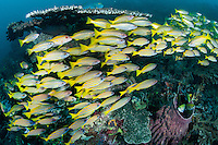 Goatfish and Snappers school together under a large Table Coral<br /> <br /> Shot in Indonesia