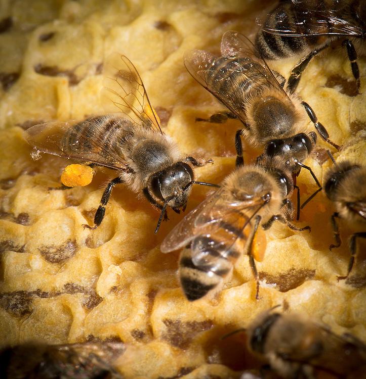 European honey bee (Apis mellifera), carrying pollen,  Captive,  credit: Palo Alto JMZ/M.D. Kern