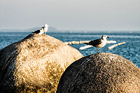 Gaivota sobre rocha na Praia da Tapera. Florianópolis, Santa Catarina, Brasil. / Seagull on a rock at Tapera Beach. Florianopolis, Ssanta Catarina, Brazil.
