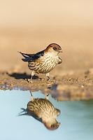 Greater-Striped Swallow standing on the waters edge and reflected in the water, De Hoop Nature Reserve, Western Cape, South Africa