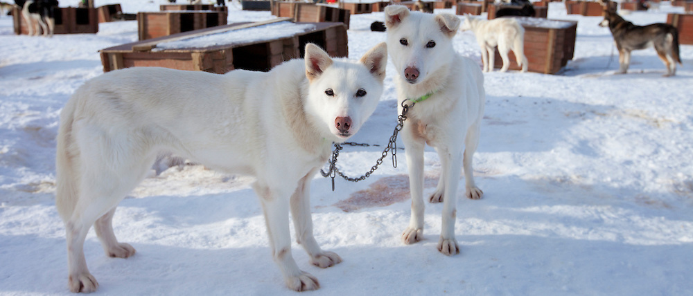 Alaskan Huskies at kennels at Villmarkssenter wilderness adventure centre on Kvaloya Island, Tromso in Arctic Circle Northern Norway