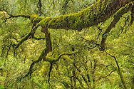 SMoss-covered tree branch in forest, Shasta - Trinity National Forest, Shasta County, California