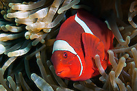 Large Female Spinecheek Anemonefish.Shot in West Papua Province, Indonesia