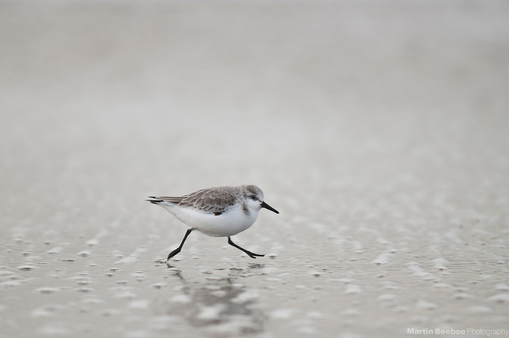 Sanderling (Calidris alba) running on the beach, Half Moon Bay, California