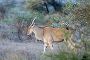 Male Eland in East African habitat