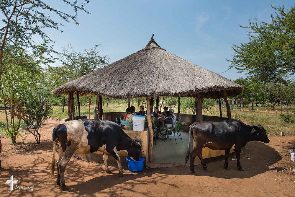 Cows graze next to an outdoor classroom at the Evangelical Lutheran Church in Tanzania – South-East of Lake Victoria Diocese (ELCT-SELVD) Bishop Emmanuel Makala Training Center on Friday, March 13, 2015, in Shinyanga, Tanzania. LCMS Communications/Erik M. Lunsford