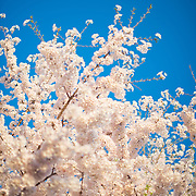 Pale pink cherry blossoms against a clear blue sky in Washington DC.