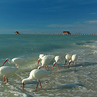 Wildlife bird photography of white ibises at Naples beach near historic Naples pier in Southwest Florida. This Florida wildlife photography image is available as museum quality photography prints, canvas prints, acrylic prints or metal prints. Fine art prints may be framed and matted to the individual liking and decorating needs:<br />
