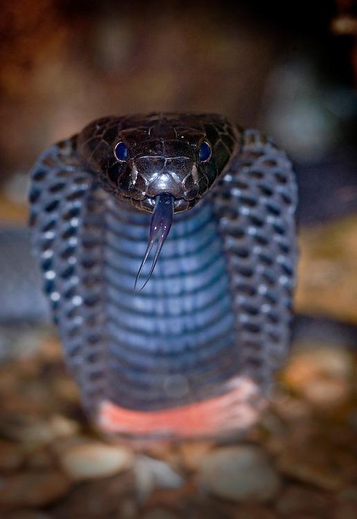 Red neck Spitting Cobra (Naja nigricollis)