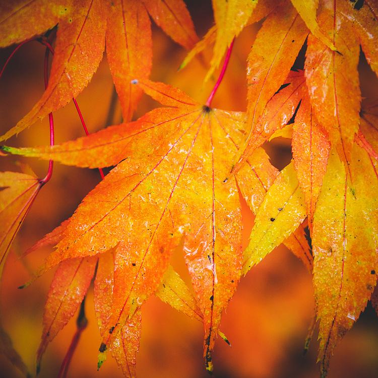 Warm colours on a wet autumn leaf