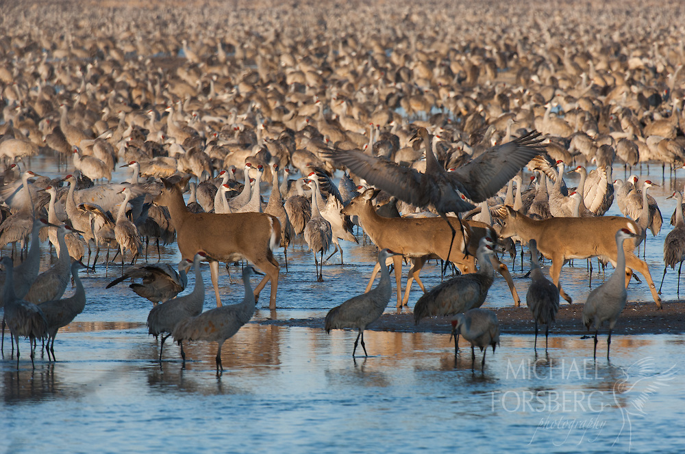 Platte River, Nebraska<br /> <br /> At sunrise, White-tailed deer try to cross the river channel through a huge roost of migrating Sandhill cranes.