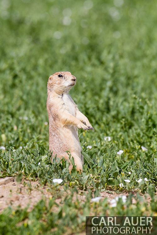 Prairie Dogs around the Standley Lake reservoir in Arvada, Colorado