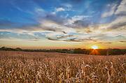 USA, Nebraska, near Omaha. A cornfield at sunset.