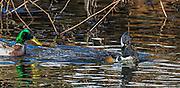Hooded merganser feeding on a fish
