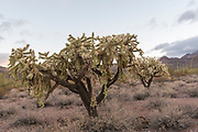 Hanging chain cholla (Cylindropuntia fulgida) from Organ Pipe Cactus National Monument, southern Arizona.