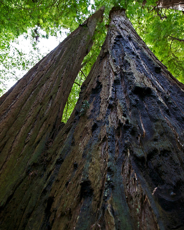 The tallest trees on Earth. The giant redwood trees stretching to the sky.