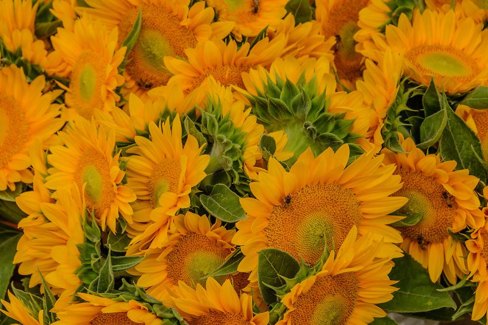 Sunflowers, Harbes Family Farm, Mattituck, NY