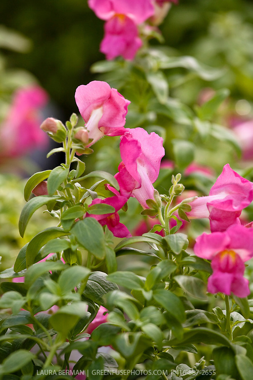 Snapdragons  (Antirrhinum) is a genus of annual plants  whose name comes from the flowers' fancied resemblance to the face of a dragon that opens and closes its mouth when laterally squeezed.