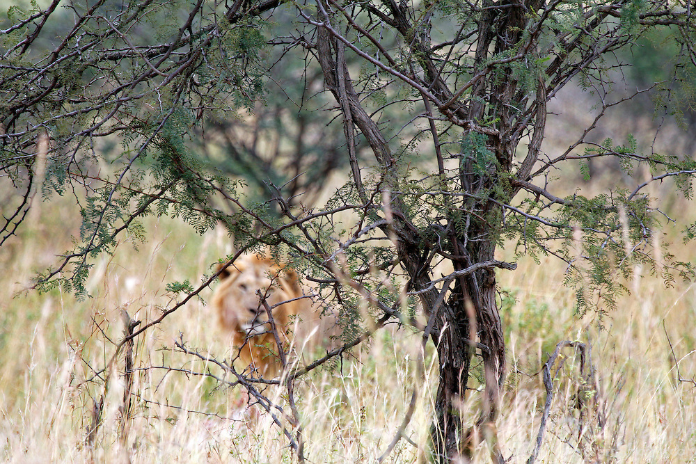 Africa, Kenya, Masai Mara. A hidden lion approaching from beyond the bush.