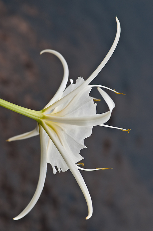 Spider Lily Dancer