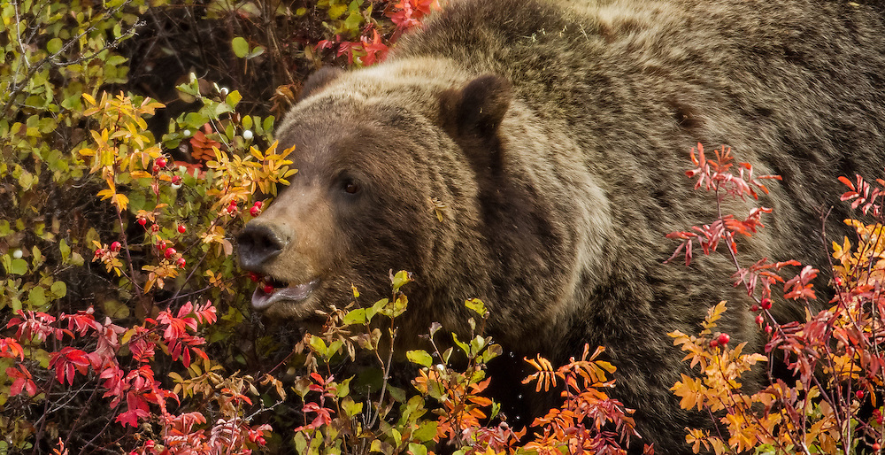 Prior to hibernation, grizzly bears must eat as much as possible and will often feast on high calorie fruits which become available in late summer and early fall. These fruits include rose hips, huckleberries, blueberries and buffaloberries.