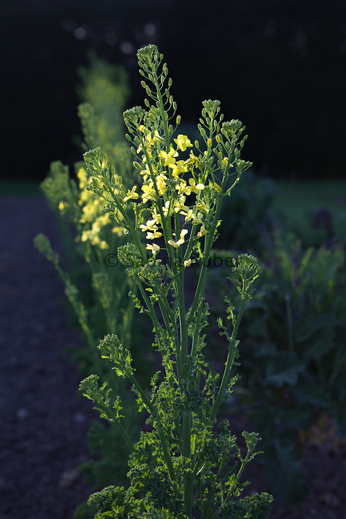 Brassica oleracea - Kale