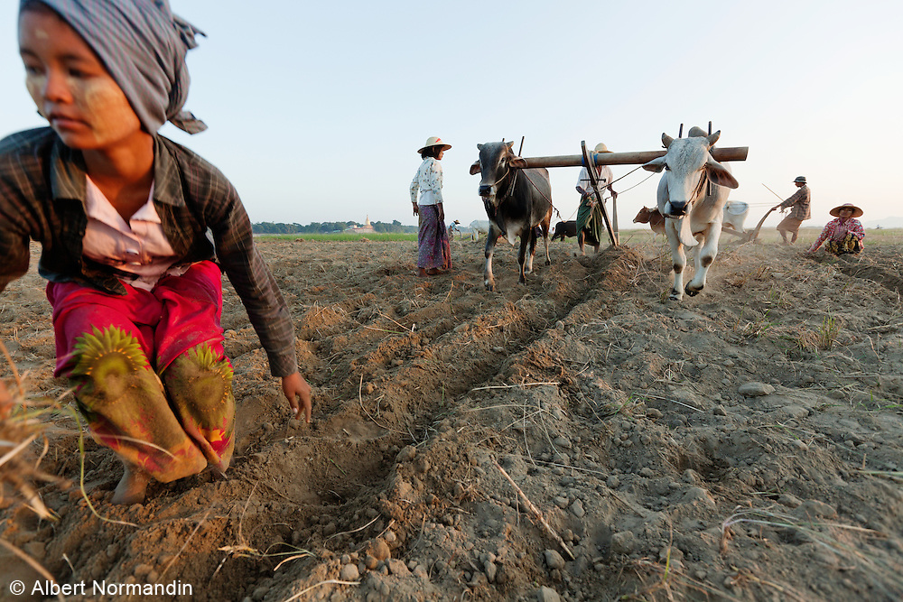 Woman working in the farm fields with men using plow and livestock, Ayeyarwady River, Bagan