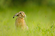 European Hare (Lepus europaeus) adult in field margin, South Norfolk, UK. May