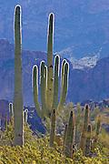 Saguaro cactus in Organ Pipe Cactus National Monument