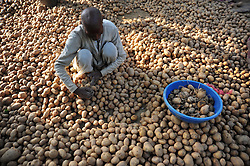 October 25, 2016 - Allahabad, Uttar Pradesh, India - Allahabad: A farmer sort potato will used as seed of potato at outskirts of Allahabad. Agriculture remains as important economic activity for the India, with wheat and rice being the main food crops. (Credit Image: © Prabhat Kumar Verma via ZUMA Wire)