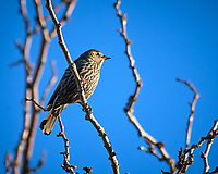 Female Red-winged Blackbird. Image taken with a Nikon D300 camera and 80-400 mm VR lens (ISO 200, 400 mm, f/8, 1/400 sec).