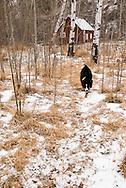 Cabin in aspen (Populus tremuloides) grove, Australian Shepherd dog,  Paradise Valley, south of Livingston Montana<br /> PROPERTY RELEASED