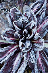 Hoar frost on Chicory 'Rossa di Treviso'. Cichorium intybus