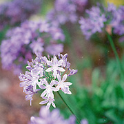 Agapantha Flower
