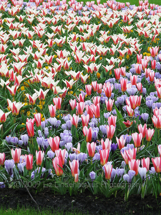 Flowers in bloom at Keukenhof