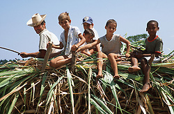 Farmers riding on an ox cart laden with vegetation for animal feed; in the Cuban countryside; Pinar Province,