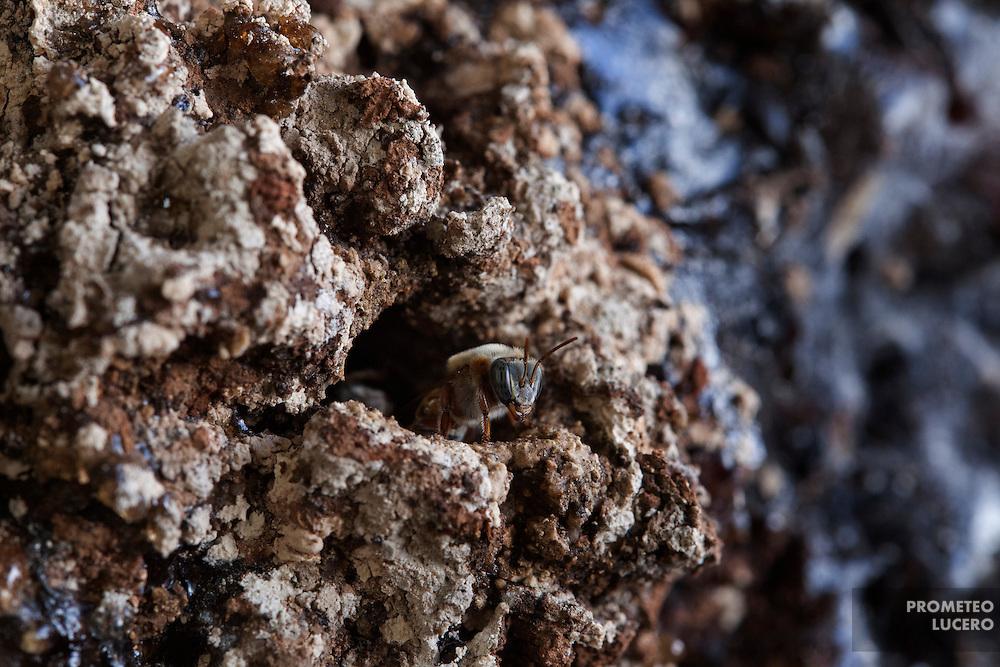 Una abeja melipona (meliponini) monta guardia en la entrada de un panal en Hopelchen, comunidad maya de Campeche, Mexico. Este centinela impide el paso de otras especies distintas a la colmena. Las abejas meliponas, sin aguijón, producen miel de alta calidad,  amenazada por el cultivo de soya transgenica y agroquímicos cerca de sus nidos, usualmente troncos de madera en putrefacción. (FOTO: Prometeo Lucero)