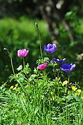 Israeli wildflowers - various coloured Crown Anemone (Anemone coronaria)