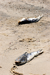 09 May 2010. Waveland, Mississippi USA. <br /> Two dead catfish make up a small fraction of carnage at the beach.  6 dead stingrays also littered a half mile stretch of beach. Whether it's early indications of oil pollution, or catch tossed from a local fishing pier, it is truly tragic to find so many once fine, now dead fish in such a short stretch of beach. Either way, it shows a callous disregard for the environment in which we live. Meanwhile all around locals, tourists and visitors relax and enjoy the beauty of South Beach,  an hour from New Orleans. Just a few miles off the coast, an impending disaster looms. With the continual flood of oil washing into the Gulf of Mexico and as winds turn and begin to push from the south, it is only and matter of when, not if the oil reaches the beaches. The barrier islands offshore are taking a battering soaking up the initial fronts of oil threatening everything in it's ever encroaching path. <br /> Photo; Charlie Varley/varleypix.com