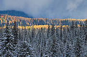 Pine and larch trees with late afternoon sun breaking through after snowstorm; Blue Mountains near Elkhorn Ridge summit, Wallowa-Whitman National Forest, eastern Oregon.