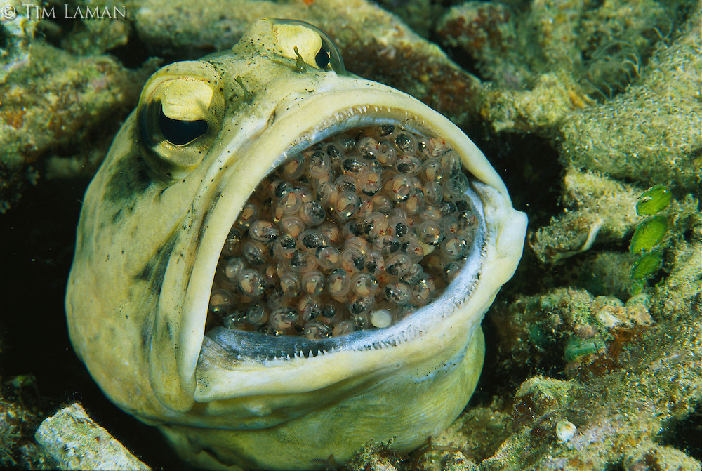 A female jawfish, her mouth filled with nearly hatched eggs...