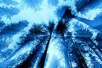 Trees seen through a moving camera lens, Cypress Hills Park Saskatchewan