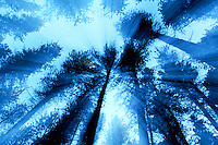 Trees seen through a moving camera lens, Cypress Hills Park Saskatchewan